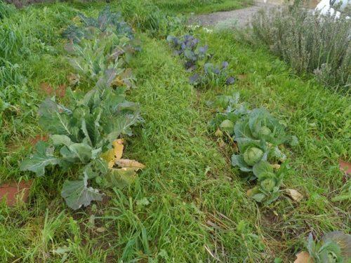 החורף הוא גם ערוגות ירקות החורף...